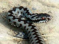 żmija zygzakowata - Vipera berus